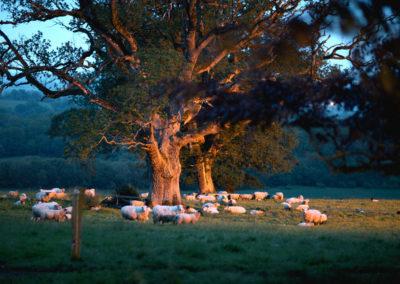 Sheep At Night 400x284