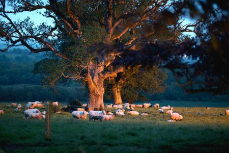 Sheep At Night 450x300