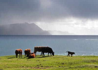 Cows 400x284