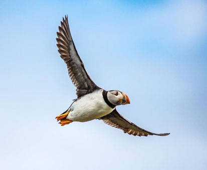 Puffin Bird Sea Flight