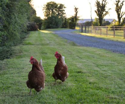 Chickens 413x344