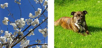Blossom Dog 413x194