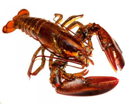Lobster 413x335