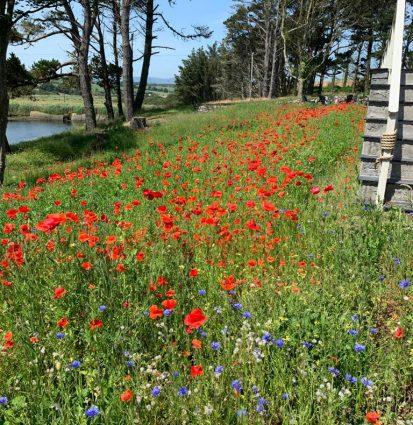 Poppies 2 413x425