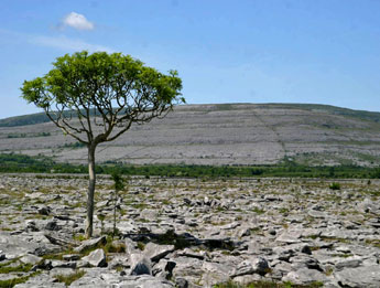Burren Tree