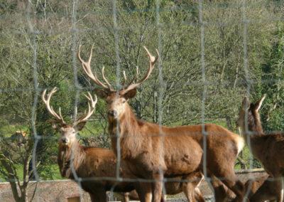 Deer Close 400x284