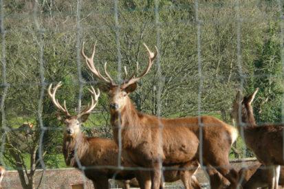 Deer Close 413x275